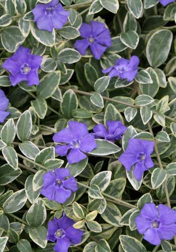Vinca minor 'Albina'