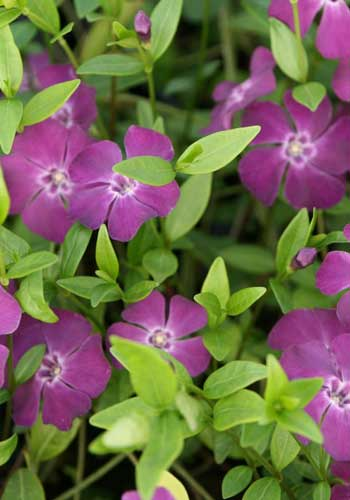 Vinca minor 'Rubin'